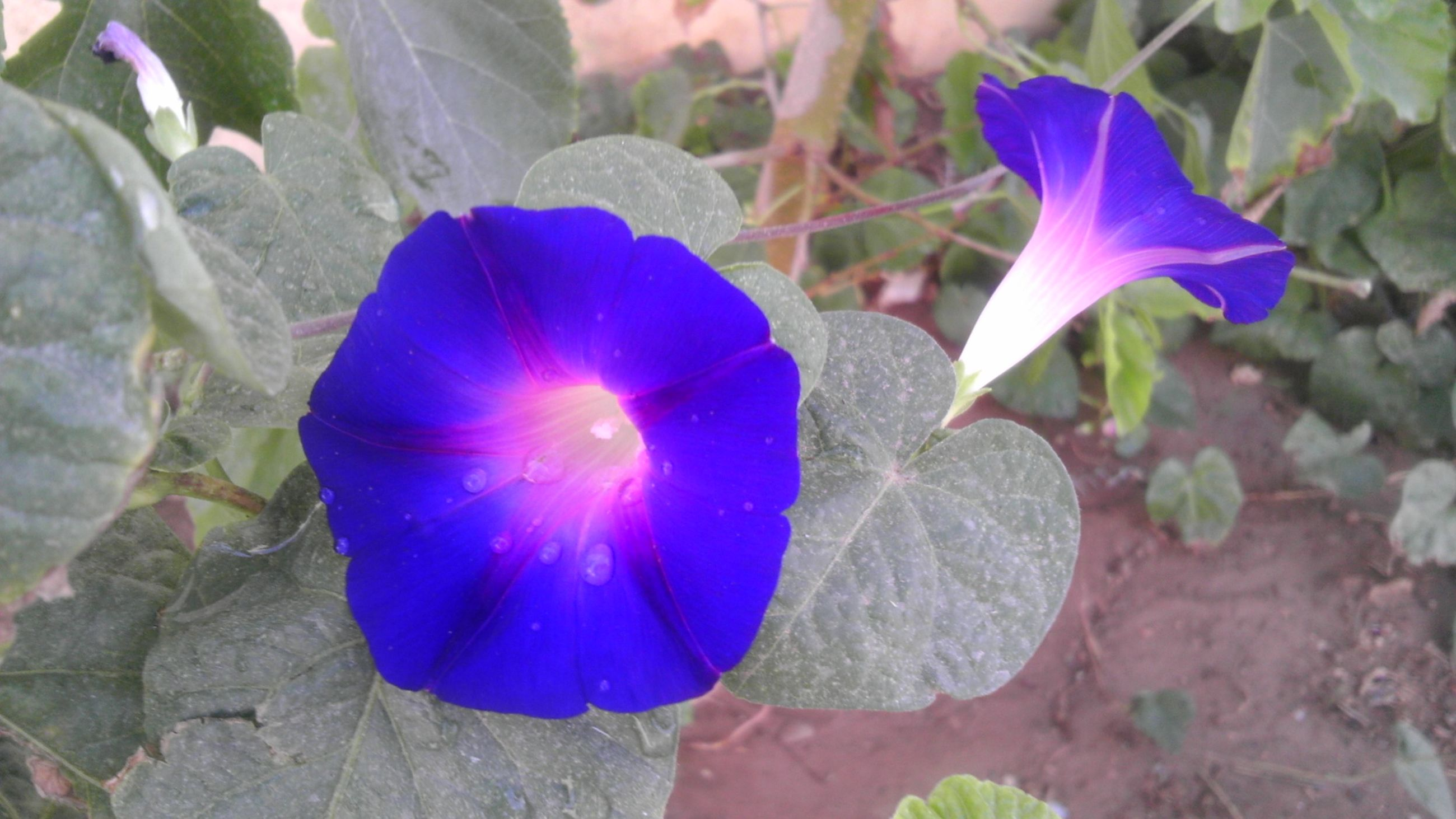 purple, flower, fragility, petal, freshness, close-up, growth, beauty in nature, blue, flower head, leaf, nature, plant, focus on foreground, single flower, day, blooming, natural pattern, outdoors, no people