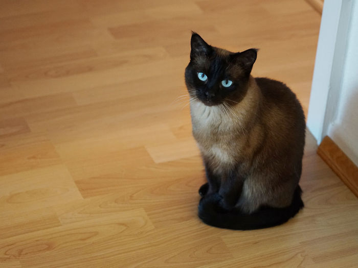 High angle view of siamese cat sitting on hardwood floor at home