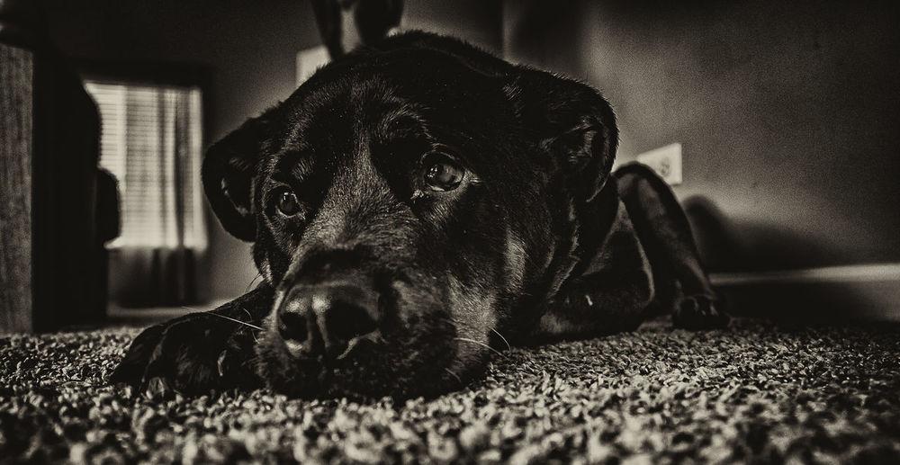 Close-Up Of Sad Dog Lying On Rug At Home