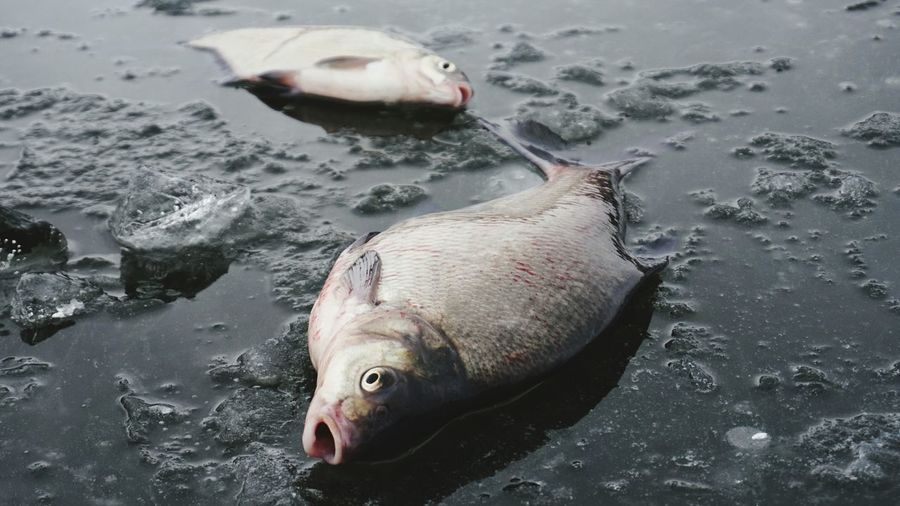 Dead fish on frozen lake during winter