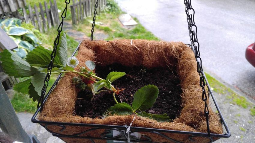 Our First Hanging Plant Hanging Planter Starts Strawberry Plant my daughter wanted me to take this picture 😚
