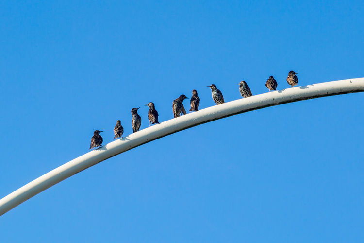 Low Angle View Of Birds Perching Pole Against Clear Blue Sky