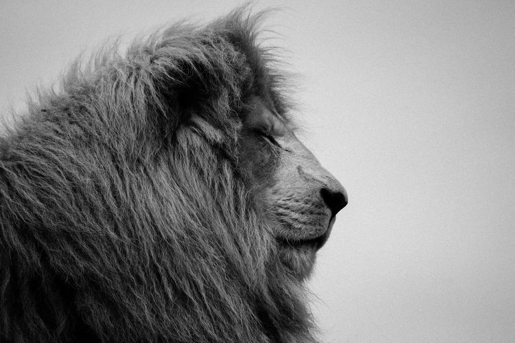 Pride, in black and white Animal Animal Eye Animal Head  Animal Themes Black & White Black And White Black And White Photography Black&white Blackandwhite Blackandwhite Photography Close-up Focus On Foreground Lion Looking Away Mammal Monochromatic Monochrome Monochrome Photography No People One Animal Outdoors Profile Side View Wildlife Zoology