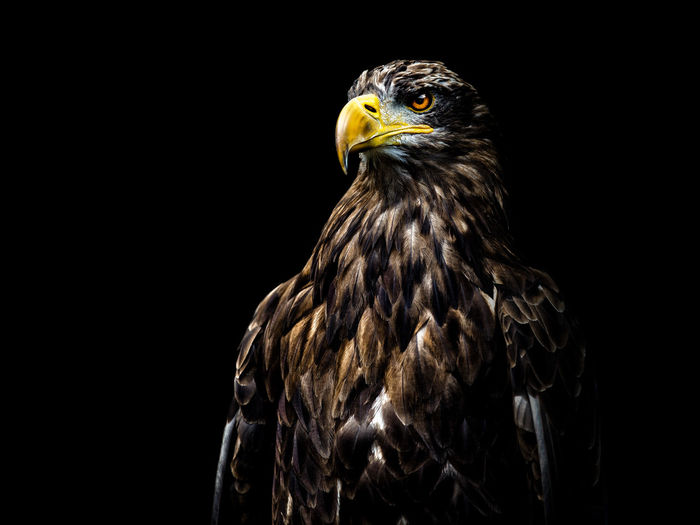 Eagle Animals In The Wild Birds Of EyeEm  EyeEm Best Shots Animal Animal Head  Animal Photography Animal Themes Animal Wildlife Animals Animals In The Wild Bird Bird Of Prey Birds Birds_collection Black Background Close-up Copy Space Eagle Feather  First Eyeem Photo Looking Away Nature One Animal Portrait EyeEmNewHere The Great Outdoors - 2018 EyeEm Awards The Portraitist - 2018 EyeEm Awards