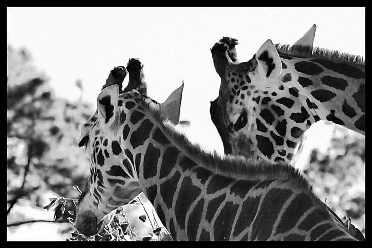 Two Giraffes A Pair Of Giraffs Black & White