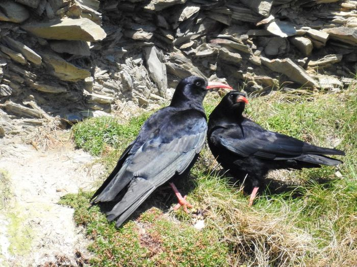 Choughs Posing Chough Animal Animal Family Animal Themes Animal Wildlife Animals In The Wild Bird Black Color Day Field Full Length Grass Group Of Animals Land Nature No People Outdoors Perching Plant Sunlight Two Animals Vertebrate First Eyeem Photo