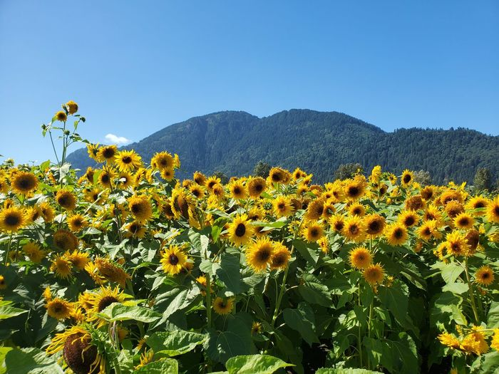 Yellow flowering plant against clear sky