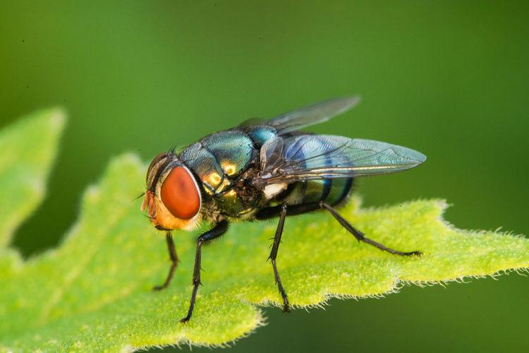 麗蠅 Leaf Insect