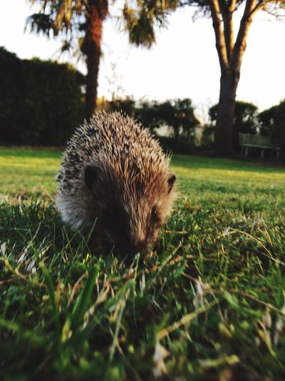 Hedgehog One Animal Animal Themes Animals In The Wild Grass Field Animal Wildlife No People Outdoors Nature Day Mammal