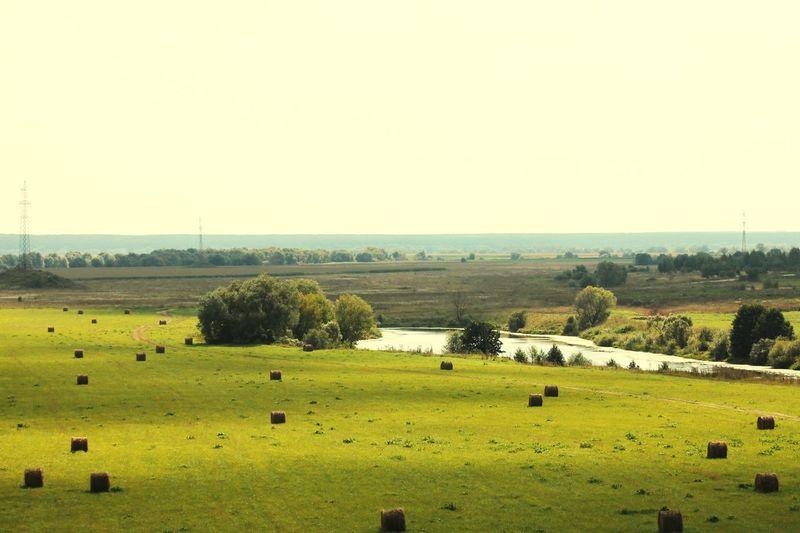Sheep Rural
