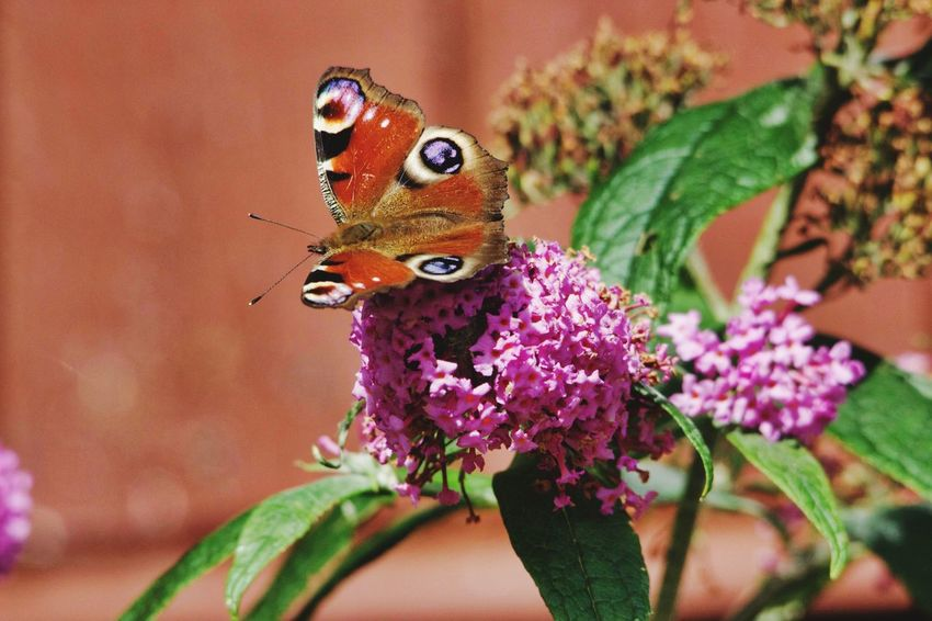 Flower Butterfly - Insect Insect Red Close-up Animal Themes Flower Head Pollen Blooming Butterfly Pink Petal In Bloom Single Flower