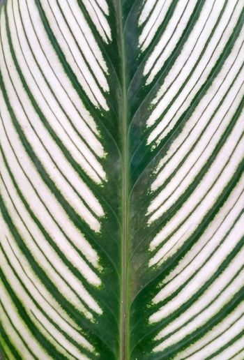Pattern Pieces Natural Pattern Pattern Leaf Patterns Leaf Pattern Leaf Patterns Stripes Stripes Green White Leaf Pattern, Texture, Shape And Form Patterns In Nature Background Stockphoto
