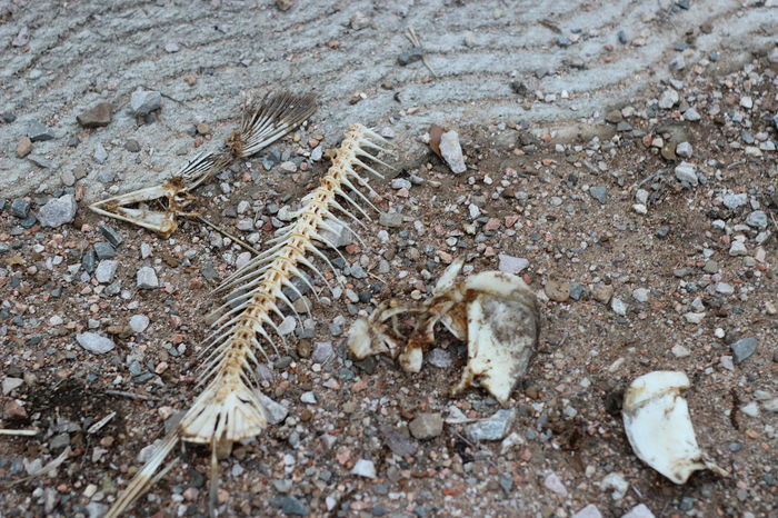 Animal Bone Bones DEAD FISH Fish Bones High Angle View Nature No People Outdoors
