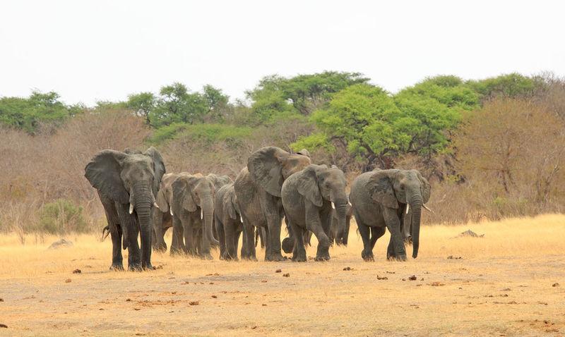 African Elephant Animal Themes Animal Wildlife Animals In The Wild Day Elephant Herd Hwange National Park Large Group Of Animals Mammal Nature Nature Reserve No People Outdoors Wildlife & Nature Wildlife Photography