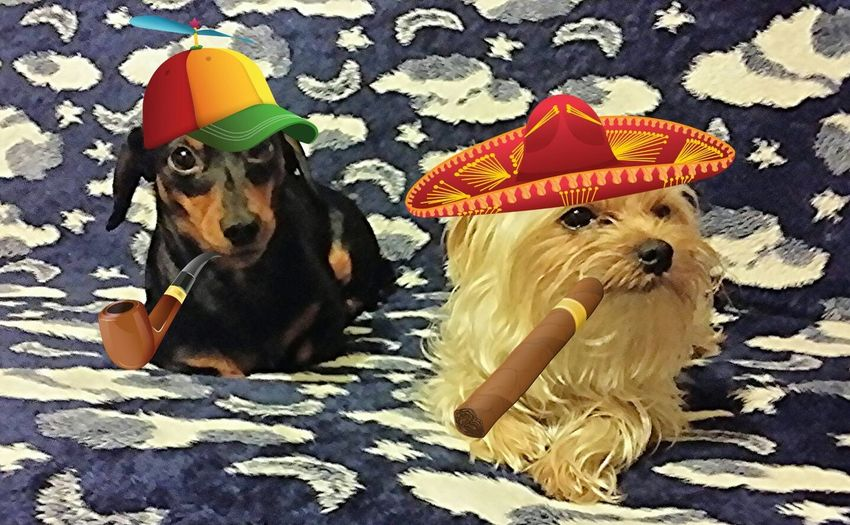 Dog Pets No People Dog Love Dog❤ Doxie Doxieforlife Doxiefever Lying Down Doxie Loving Moments Dachshund Domestic Animals Doxies Pipe Smoking Cigars
