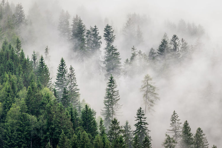 pine forest on a foggy mountain 6 No People Day Tree Beauty In Nature Nature Nature_collection Nature Photography Tranquility Tranquil Scene Fog Foggy Foggy Morning Green Evergreen Tree Forest Photography Outdoors Weather Mountain View Mountain Coniferous Tree Idyllic WoodLand Pine Tree Scenics - Nature