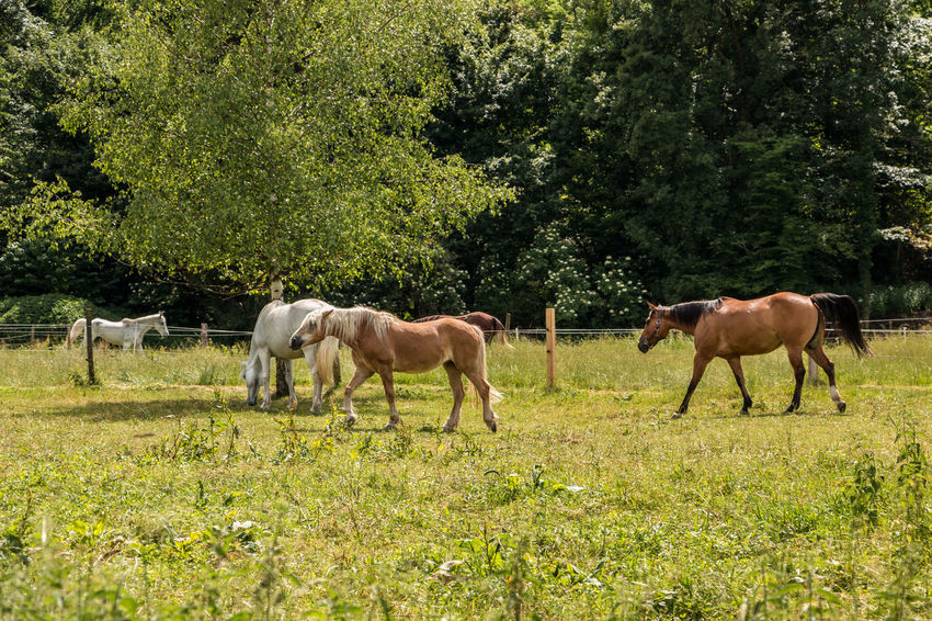 Horses on the green meadow Agriculture Animal Animal Themes Animal Wildlife Domestic Domestic Animals Field Grass Grazing Group Of Animals Herbivorous Horse Land Livestock Mammal Nature No People Outdoors Pets Plant Tree Vertebrate