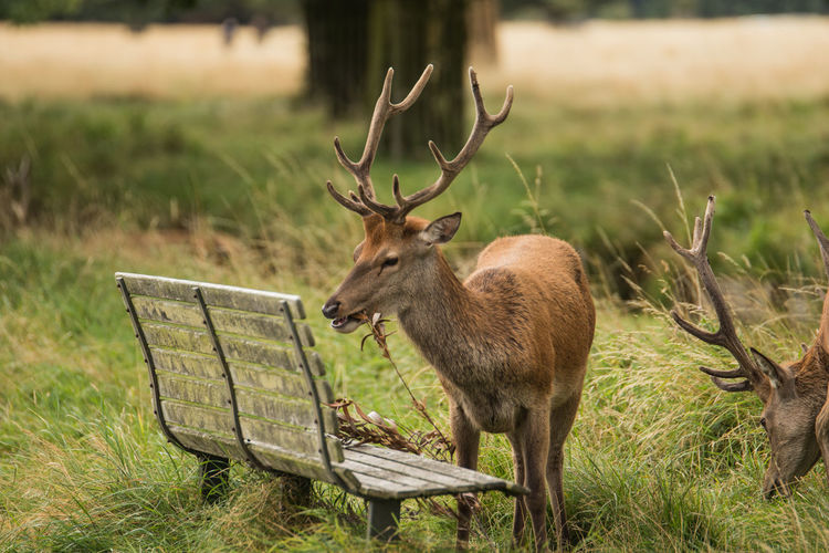 Two deer grazing close to a wooden bench