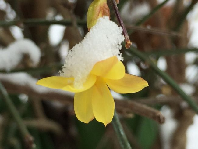 Ginestra Gialla Ginestra Flower Ginestra Snowing Flower Yellow Flame Snow Yellow Beauty In Nature Nature White Color Flower Day Focus On Foreground No People Petal Freshness Fragility Plant Flower Head Outdoors