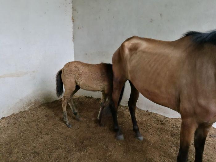 Potranca EyeEm Selects Agriculture Horse Close-up Livestock Stable Pony Animal Pen Herbivorous Bull - Animal Donkey Ranch Working Animal Piglet Foal Livestock Tag Domesticated Animal Tag Domestic Cattle Farm Animal Cattle Taurus Grazing Mane Bridle Paddock