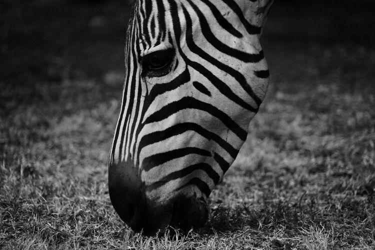 Close-up of zebra on field