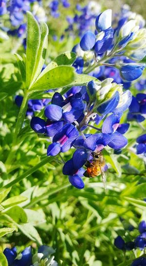 Nature Photography Eyem Nature Lovers  Nature On Your Doorstep Insect Paparazzi Insects Beautiful Nature Texas Landscape Bee 🐝 Beeandflower In Your Face Photography Insect Photography Flower Collection Texaslife Amaturephotography Nature_collection Eye4photography  Texasbluebonnets Bluebonnets