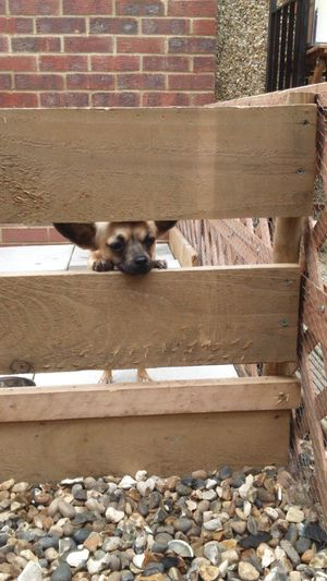 Peekaboo Peek A Boo Peeking Through Dog Little Dog Small Dog Chihuahuamix In The Garden Fence Wall Stones Canine Dog Love Dog Head Animal Themes One Dog