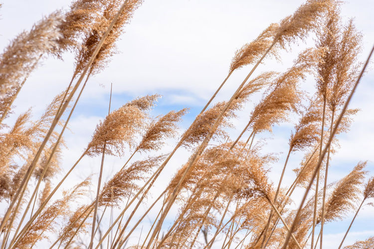 Low angle view of stalks against sky during winter