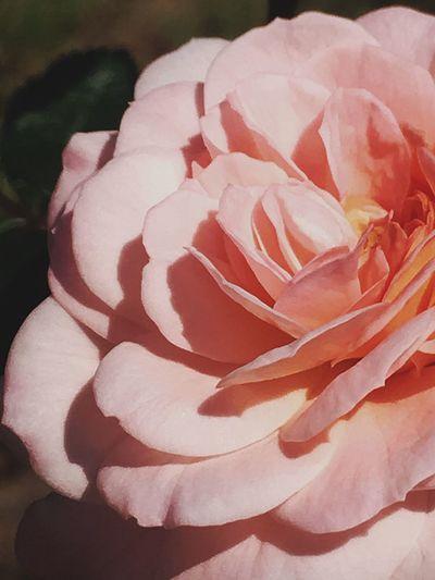 Close-up Flower Flowering Plant Beauty In Nature Rosé Plant Petal