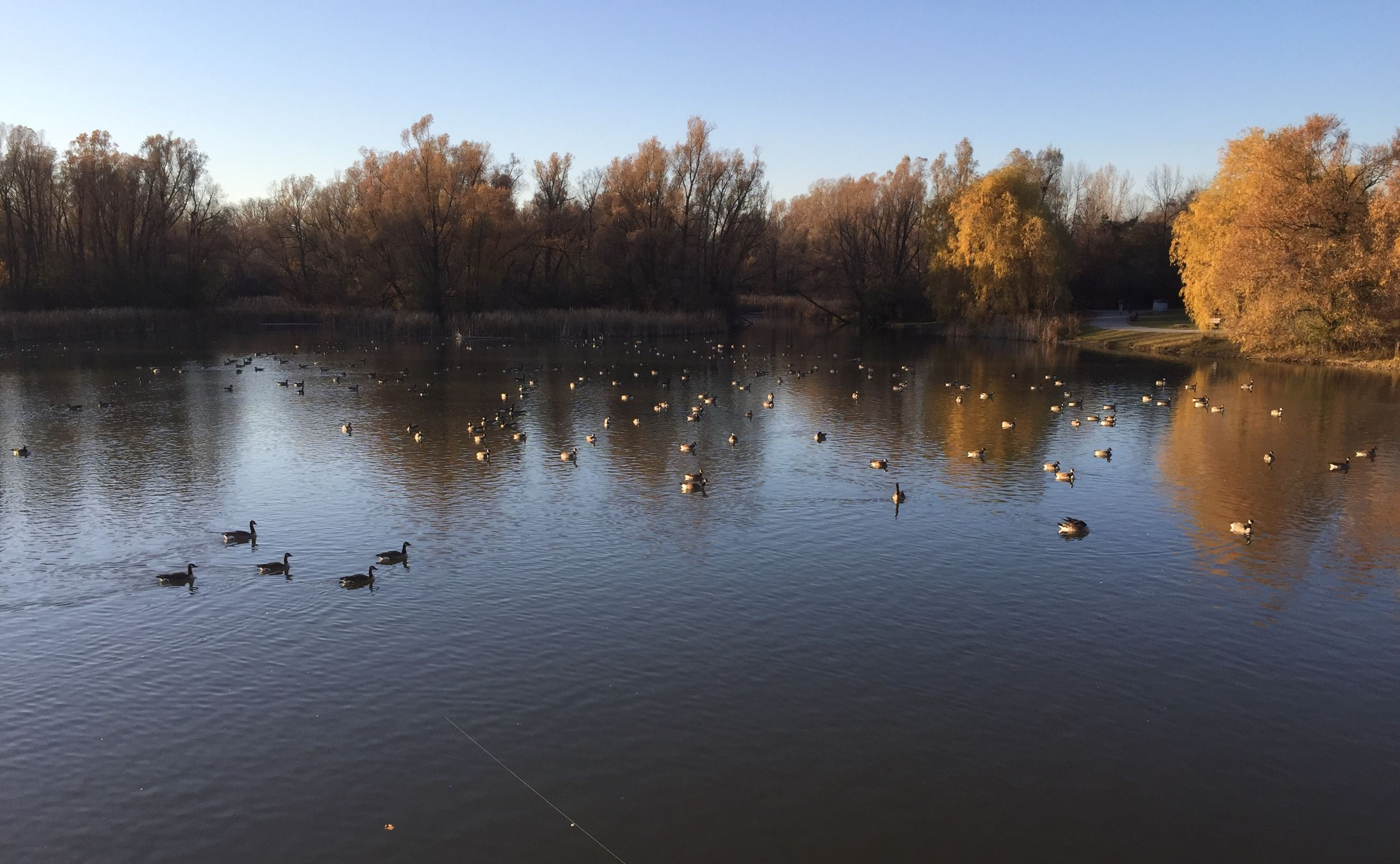 water, animal themes, bird, animals in the wild, wildlife, lake, reflection, tree, swimming, duck, waterfront, nature, beauty in nature, tranquil scene, tranquility, water bird, clear sky, scenics, flock of birds