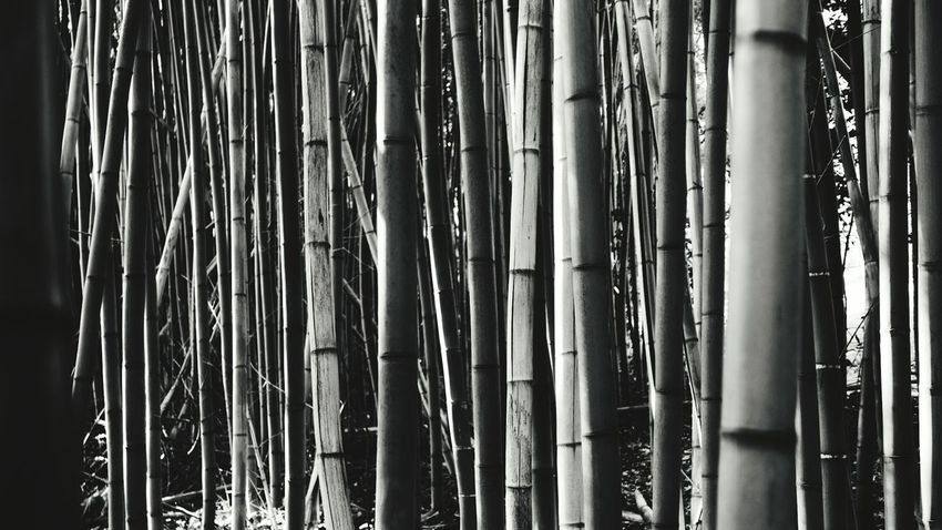 bamboo Travel Destinations Park Reggia Di Caserta Caserta Outdoors Tree No People Backgrounds Lumix Lx100 Full Frame Large Group Of Objects Day Nature Textured  Close-up Water Bamboo Grove