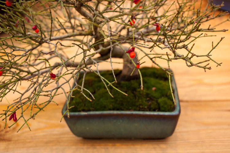 Beauty In Nature Bonsai Bonsai Tree Branch Close-up Day Focus On Foreground Fragility Freshness Growth Indoors  Nature No People Plant Table Tree