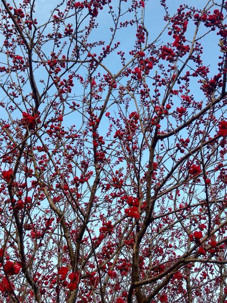 Power In Nature Mother Nature Spring Flowers Low Angle View Nature Growth Tree Red Freshness Beauty In Nature Branch Day Food And Drink Outdoors No People Springtime Rowanberry Close-up Sky Food Plum Blossom EyeEm Japan EyeEm Best Shots Japan 🇯🇵 Japan