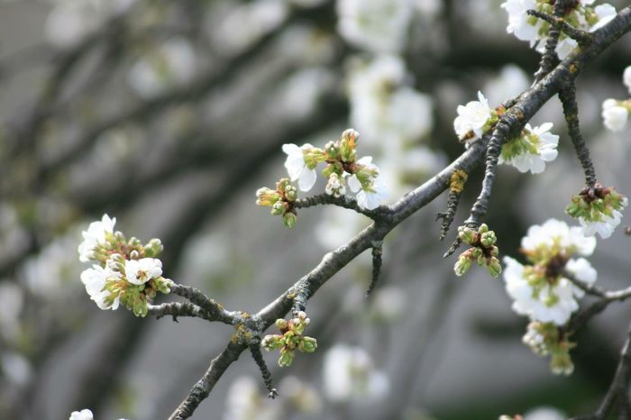 Fragility Nature Spring Cherry Blossoms Plant Fragility Freshness Growth Branch White Color Blossom No People Tree Focus On Foreground
