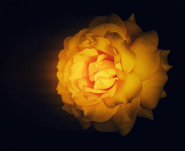 Close-up of rose over black background