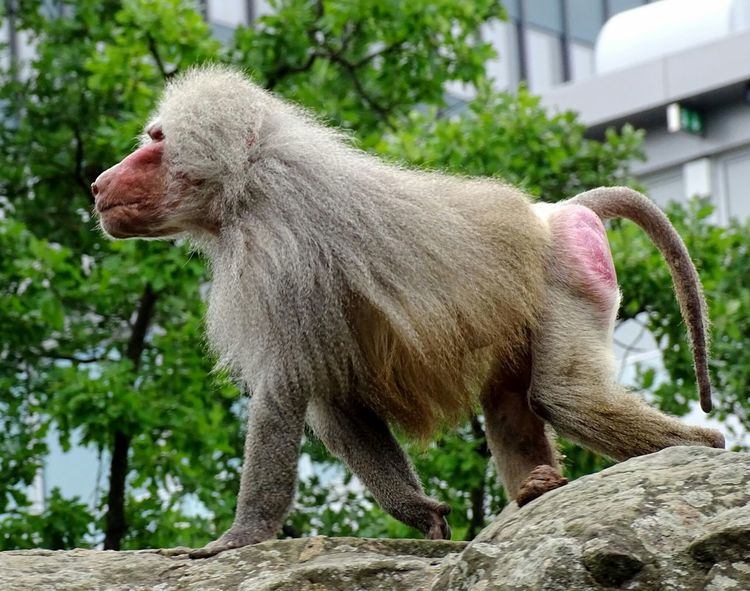 Animals Animal Photography Animal_collection Baboon Baboon Portrait Monkey Nature Taking Photos Check This Out