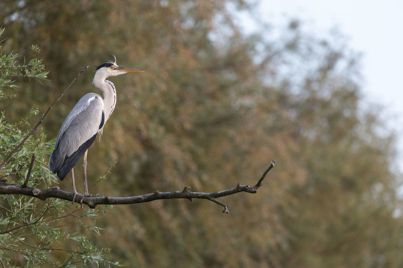 Side view of gray heron standing on a branch Standing Animal Animal Themes Animal Wildlife Animals In The Wild Bird Branch - Plant Part Focus On Foreground Full Length Gray Heron Heron Low Angle View Majestic Nature No People One Animal Outdoors Perching Plant Pride Selective Focus Side View Tree Vertebrate Water Bird