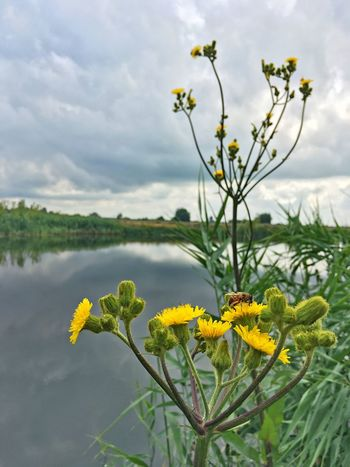 Insect Plant Flower Flowering Plant Beauty In Nature Yellow Growth Freshness Cloud - Sky Nature Day No People Flower Head Water
