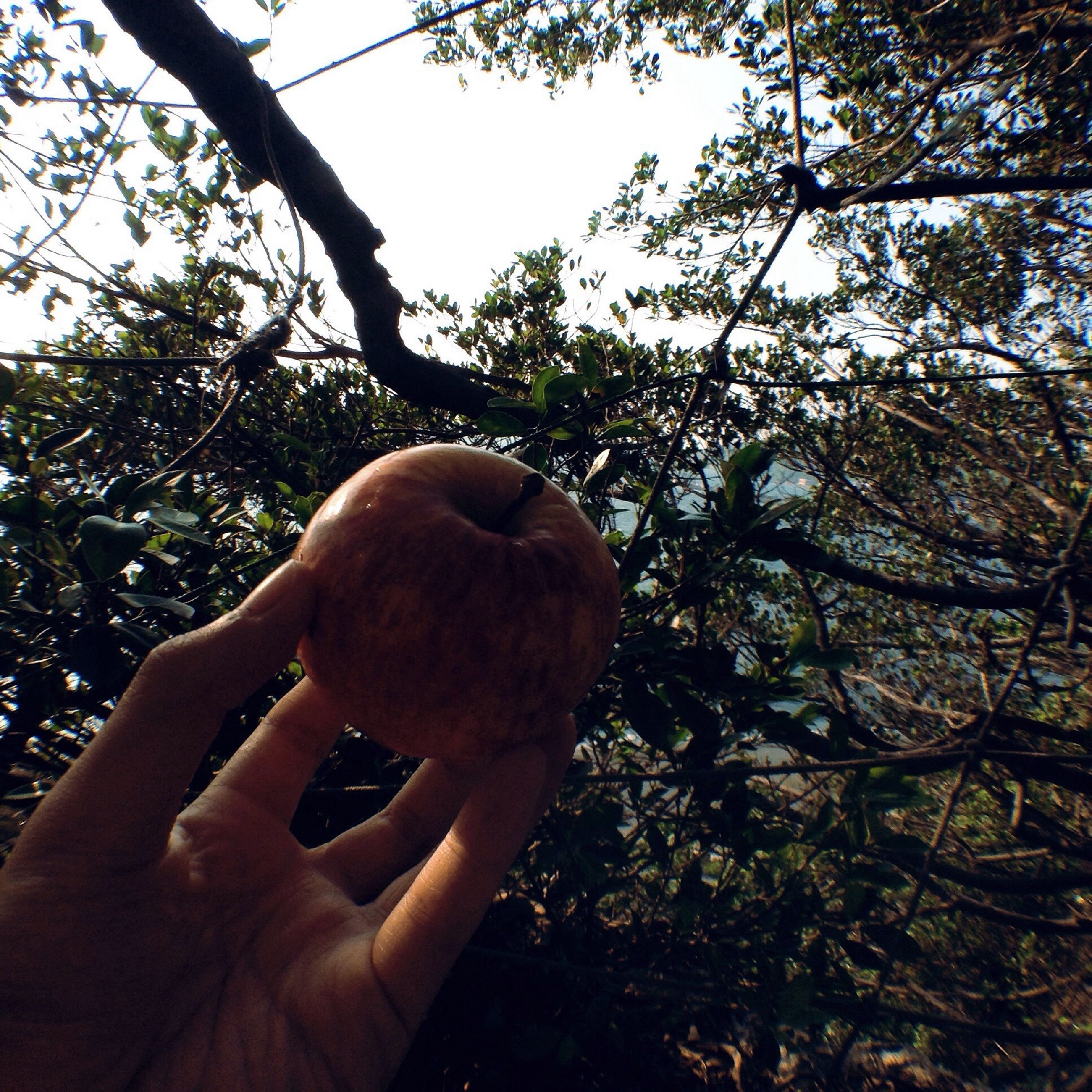 tree, branch, person, low angle view, holding, growth, part of, cropped, nature, tree trunk, human finger, close-up, day, outdoors, food and drink, sunlight, lifestyles