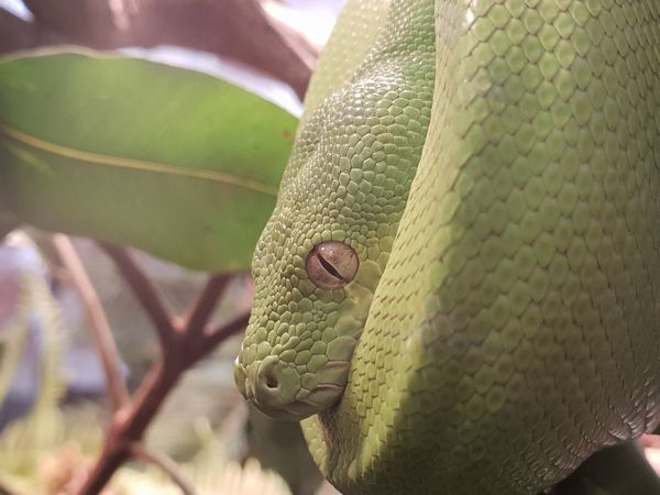 Green Tree Python Reptile Living Organism Close-up Green Color Animal Scale Snake Animal Eye Curled Up Yellow Eyes