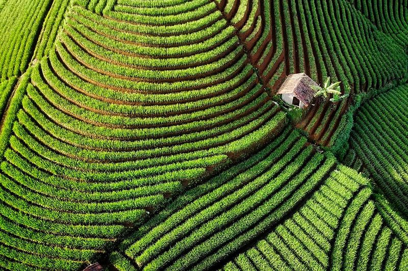 High angle view of corn field