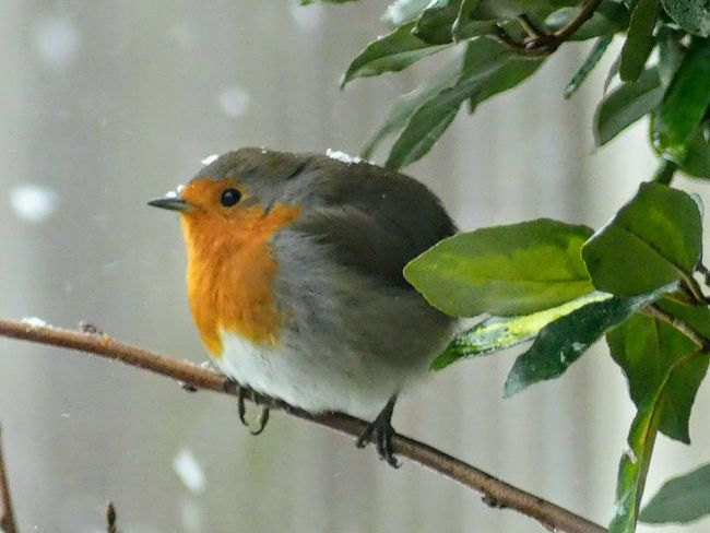 Nature Outdoors EyeEmNewHere Close-up Beauty In Nature Red Animal Themes Animals In The Wild One Animal Animal Wildlife Bird Robin Robin Redbreast Garden Bird Snow Snowing
