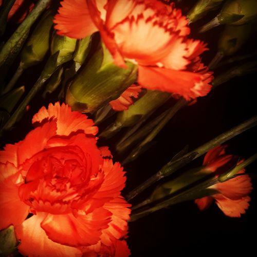 Orangecarnation Flower Beautiful ♥ Carnation Flowers Selflove Treatmyself Cheerful