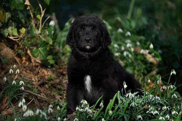 Benz Neufundländer 11Wochen Newfoundland Newfoundland Dog Hund Wasserhund Photogenic  Fotogen Beauty In Nature Beautiful One Animal No People Animals In The Wild Nature Outdoors Green Color Glanz Marl In Dogs We Trust Cuteness Overload Animals Dog