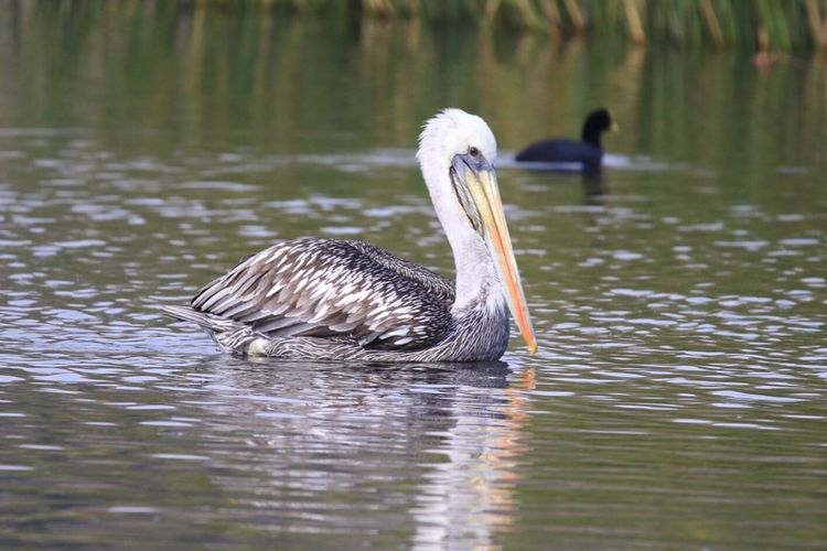 Lonely Pelican Animals In The Wild Animal Themes One Animal Bird Lake Animal Wildlife Water Swimming Water Bird Nature Waterfront Reflection Day Focus On Foreground No People Outdoors Close-up Beauty In Nature