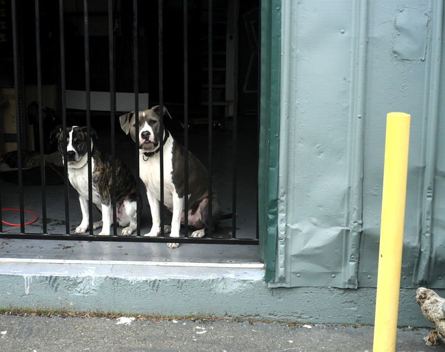 Portrait of dogs against security bars