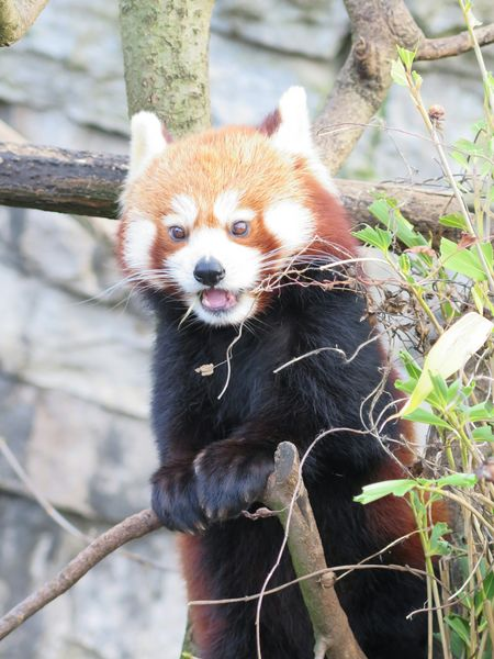 Animal Themes Red Panda Pure Emotions. My View Panda - Animal Red Panda Hello World Red Panda Bear