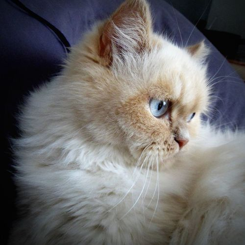 Persian Cat  Pets Portrait Feline Domestic Cat Whisker Looking At Camera Animal Hair Close-up Animal Eye Animal Head  Animal Face Maine Coon Cat Animal Nose Cat Paw Eye
