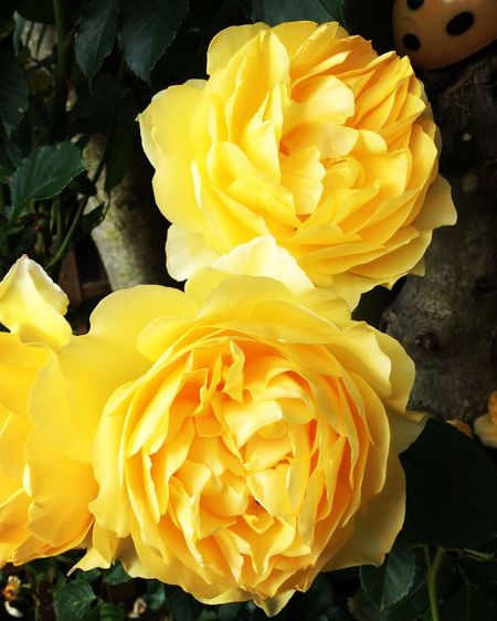 Roses🌹 Petal Flower Head Fragility Vibrant Color Rose - Flower Bloom Rosé Yellow Color Scented Scents Of Roses Autumn