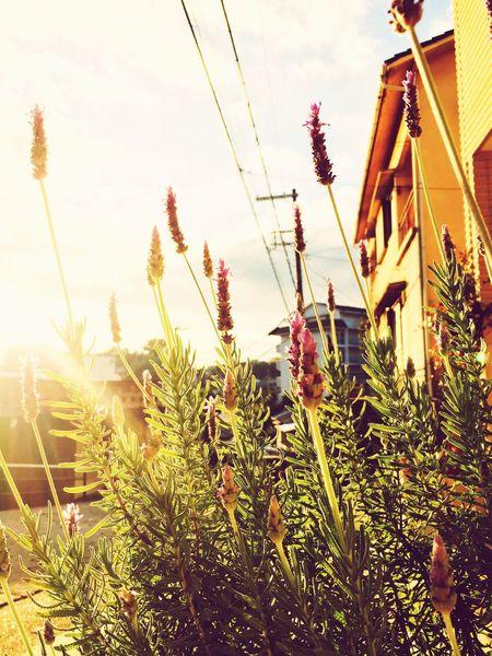 Lavender Flowers Autumn Colors Near Home Sunset